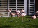 flaminga czerwonaka: różowy