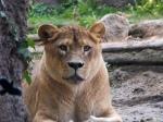 Lwica w punkcie widokowym
